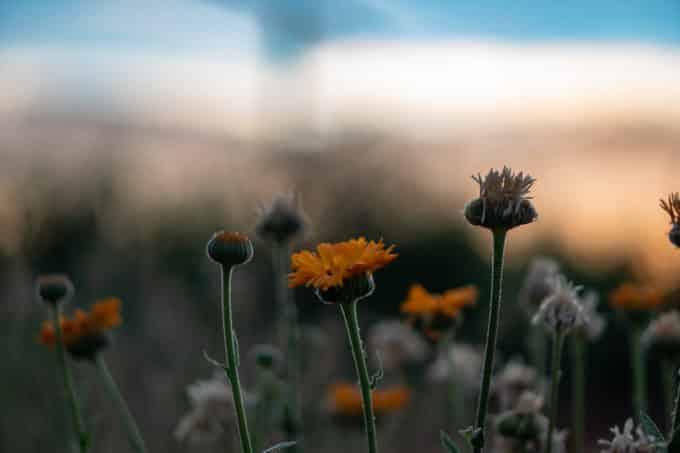 weimar farm flowers